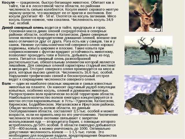 Косуля— грациозное, быстро бегающее животное. Обитает как в тайге, так и в л...