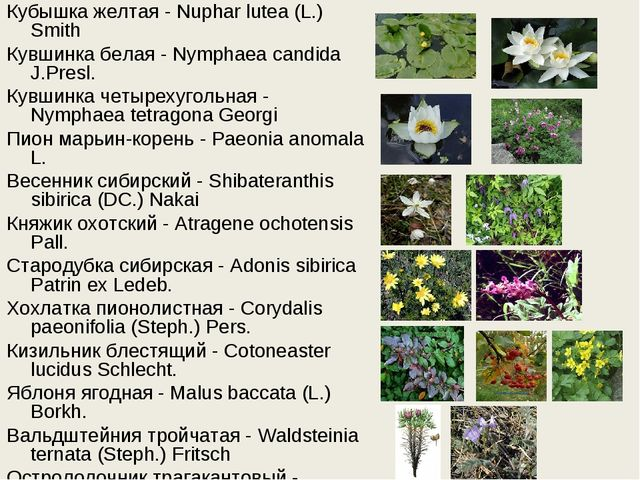 Кубышка желтая - Nuphar lutea (L.) Smith Кувшинка белая - Nymphaea candida J....