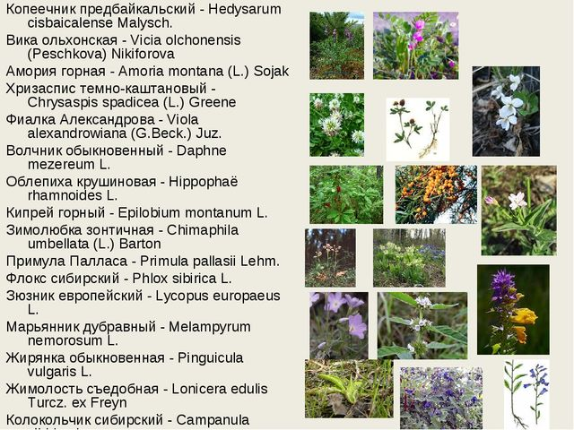Копеечник предбайкальский - Hedysarum cisbaicalense Malysch. Вика ольхонская...