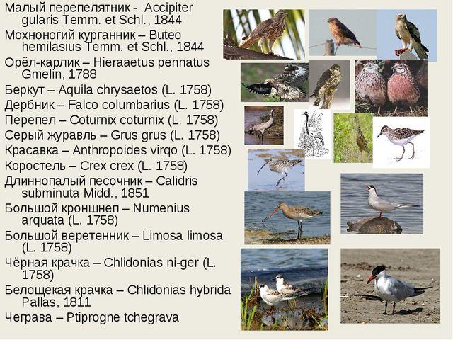 Малый перепелятник - Accipiter gularis Temm. et Schl., 1844 Мохноногий курга...