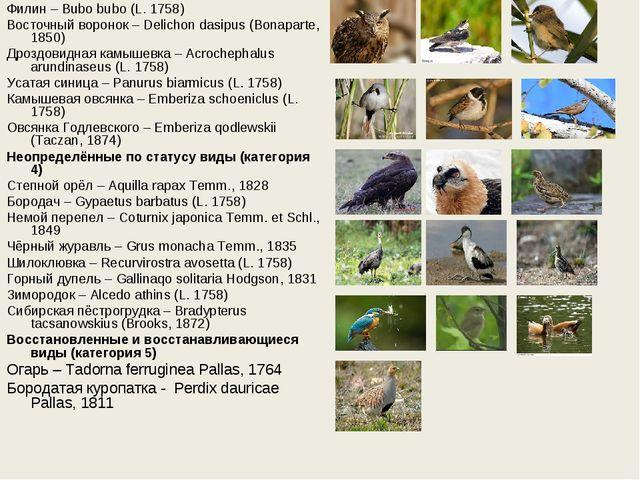 Филин – Bubo bubo (L. 1758) Восточный воронок – Delichon dasipus (Bonaparte,...