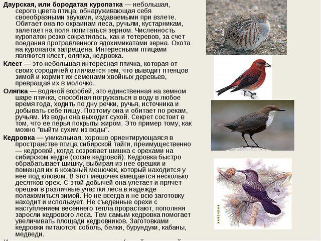 Даурская, или бородатая куропатка— небольшая, серого цвета птица, обнаружива...