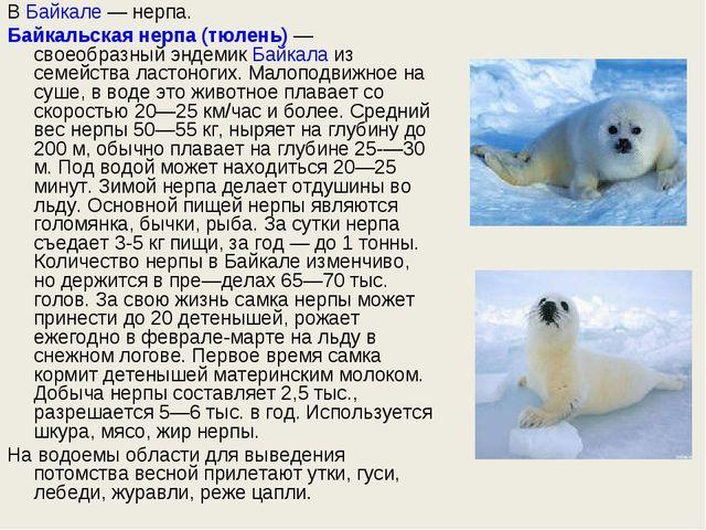 ВБайкале— нерпа. Байкальская нерпа (тюлень)— своеобразный эндемикБайкала...