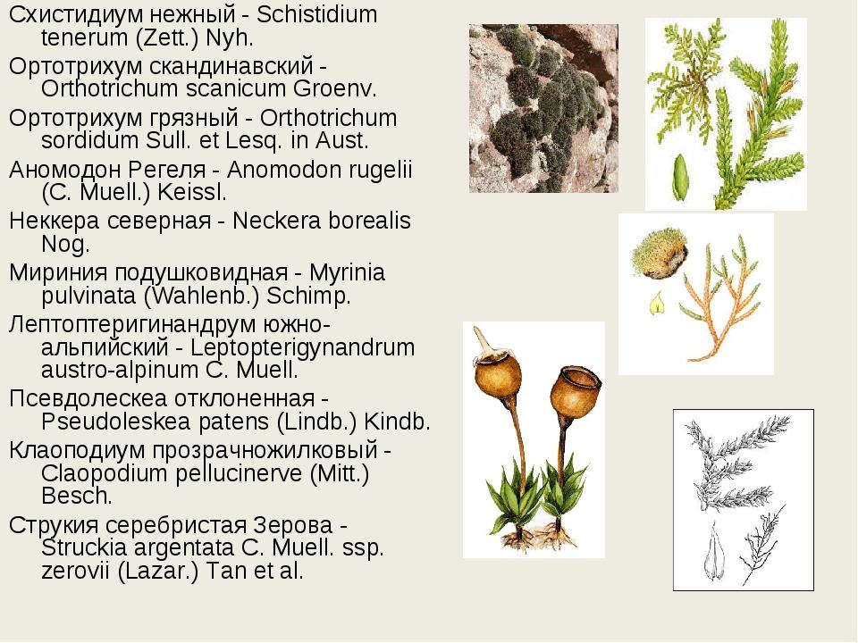 Схистидиум нежный - Schistidium tenerum (Zett.) Nyh. Ортотрихум скандинавский...