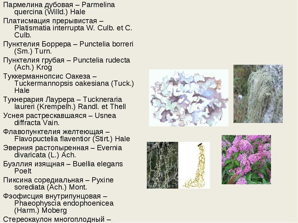 Пармелина дубовая – Parmelina quercina (Willd.) Hale Платисмация прерывистая...