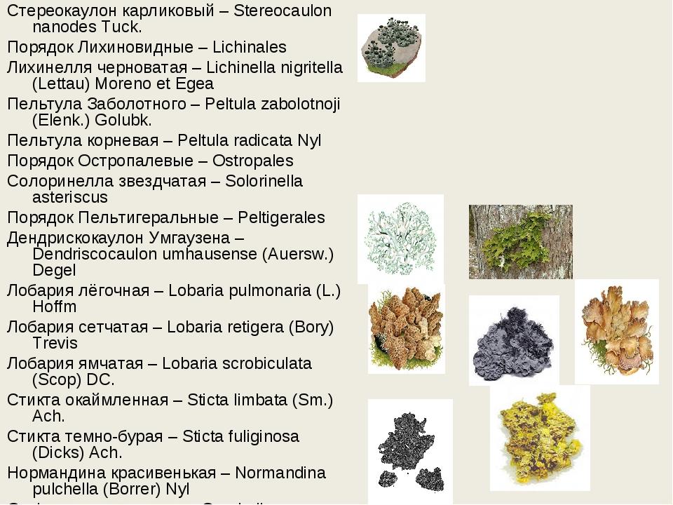 Стереокаулон карликовый – Stereocaulon nanodes Tuck. Порядок Лихиновидные – L...