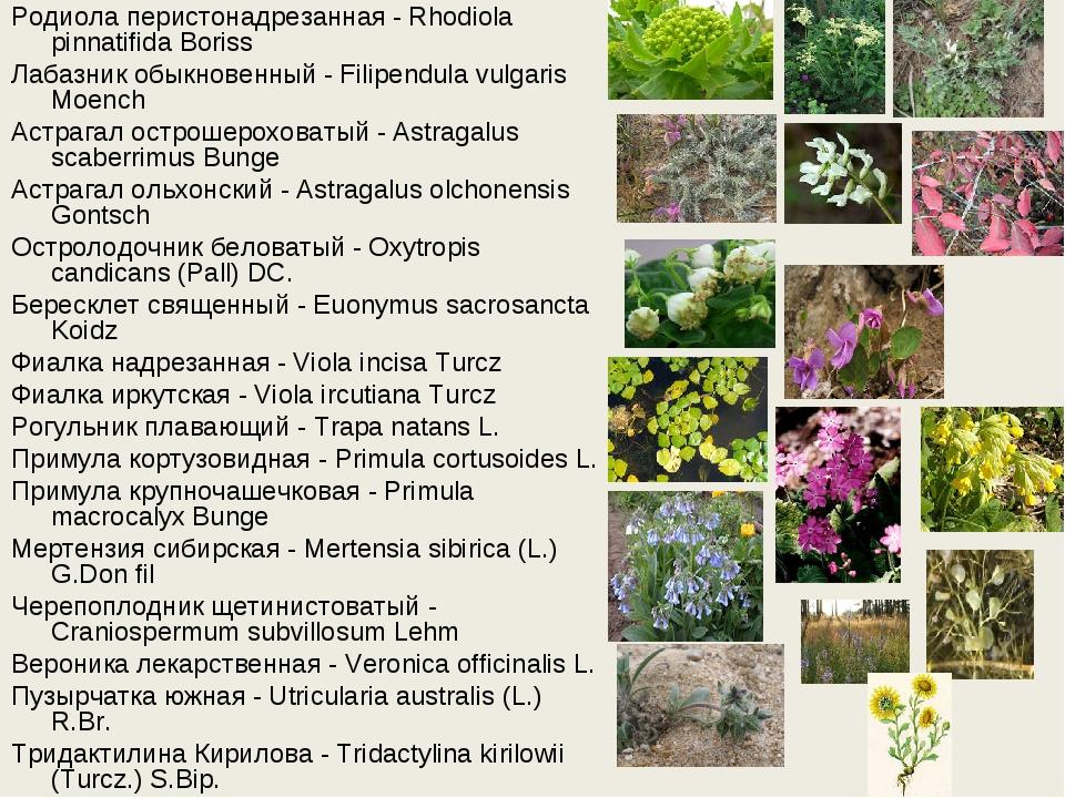 Родиола перистонадрезанная - Rhodiola pinnatifida Boriss Лабазник обыкновенны...