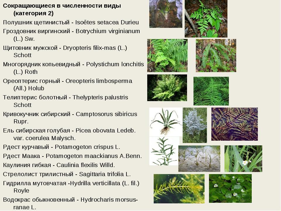 Сокращающиеся в численности виды (категория 2) Полушник щетинистый - Isoёtes...