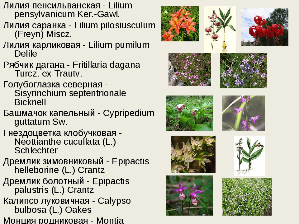 Лилия пенсильванская - Lilium pensylvanicum Ker.-Gawl. Лилия саранка - Lilium...