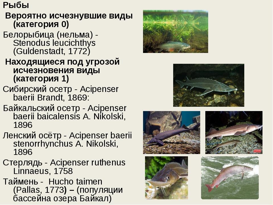 Рыбы Вероятно исчезнувшие виды (категория 0) Белорыбица (нельма) - Stenodus...