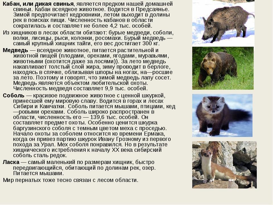 Кабан, или дикая свинья, является предком нашей домашней свиньи. Кабан всеядн...