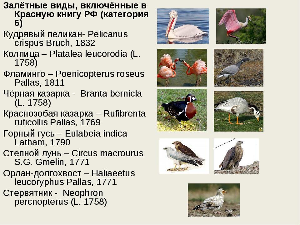 Залётные виды, включённые в Красную книгу РФ (категория 6) Кудрявый пеликан-...