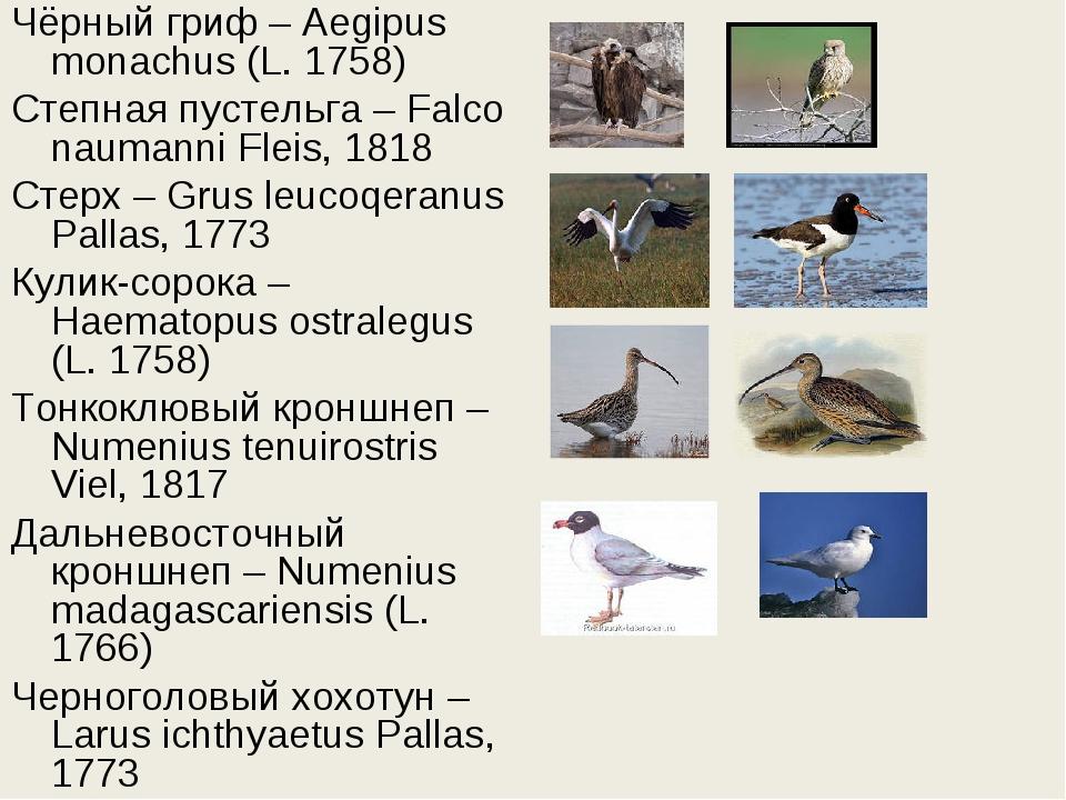 Чёрный гриф – Aegipus monachus (L. 1758) Степная пустельга – Falco naumanni F...