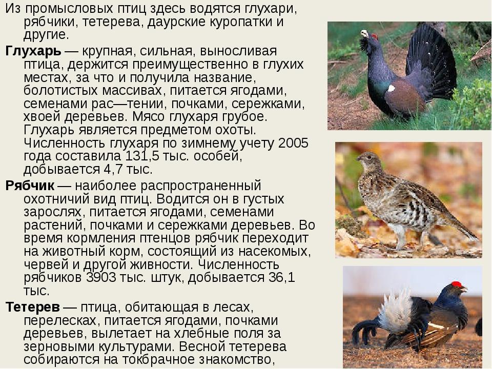 Из промысловых птиц здесь водятся глухари, рябчики, тетерева, даурские куропа...