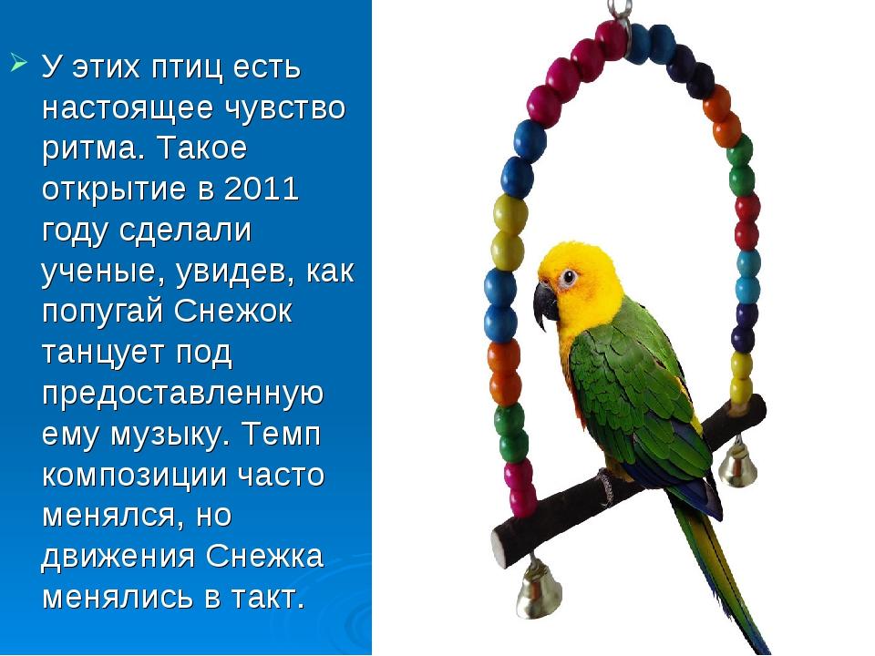 У этих птиц есть настоящее чувство ритма. Такое открытие в 2011 году сделали...