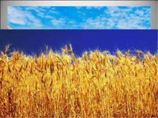 Но вот зерна созрели. Начинается жатва. В поле выходят комбайны. Кто работае