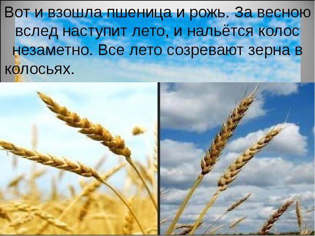 Вот и взошла пшеница и рожь. За весною вслед наступит лето, и нальётся колос...