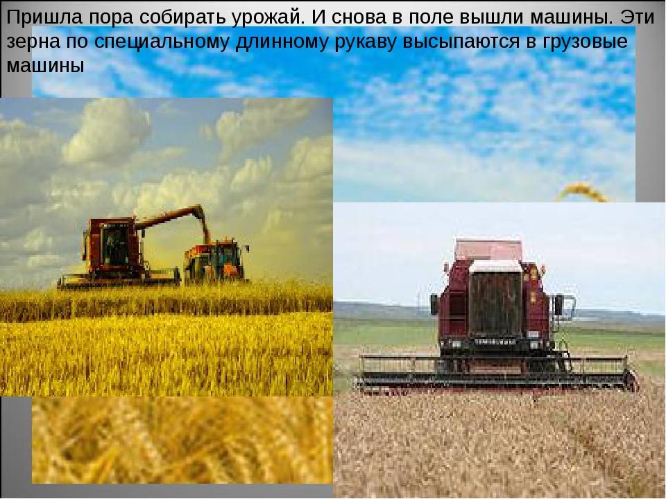 Пришла пора собирать урожай. И снова в поле вышли машины. Эти зерна по специа...