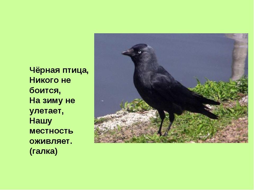 Чёрная птица, Никого не боится, На зиму не улетает, Нашу местность оживляет....