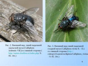 Рис. 2. Внешний вид cиней падальной уральской мухи (Calliphora uralensis Vil