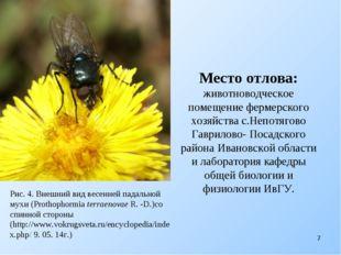 Рис. 4. Внешний вид весенней падальной мухи (Prothophormia terraenovae R. -D.