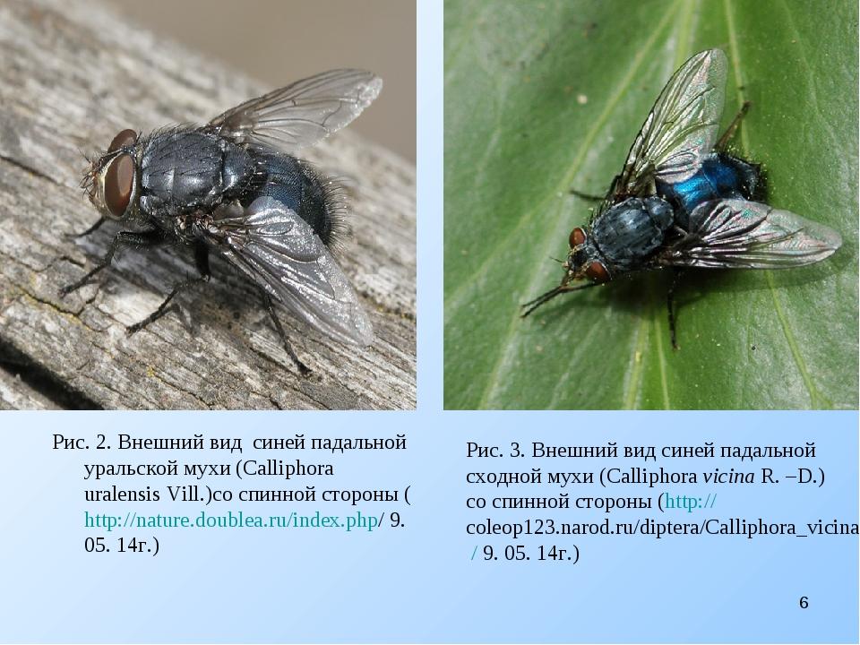 Рис. 2. Внешний вид cиней падальной уральской мухи (Calliphora uralensis Vil...