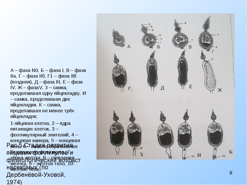 Рис.5.Стадии развития яйцевых фолликулов и физиологический возраст насекомых...