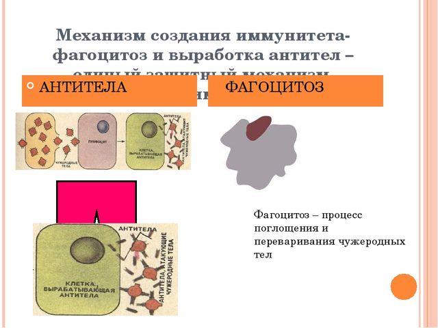 Механизм создания иммунитета- фагоцитоз и выработка антител – единый защитны...