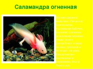 Саламандра огненная Малоподвижное животное. Питается насекомыми, гусеницами б