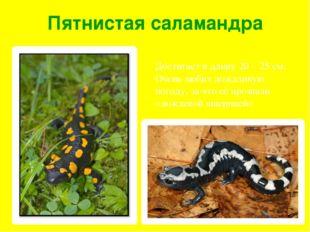 Пятнистая саламандра Достигает в длину 20 – 25 см. Очень любит дождливую пого