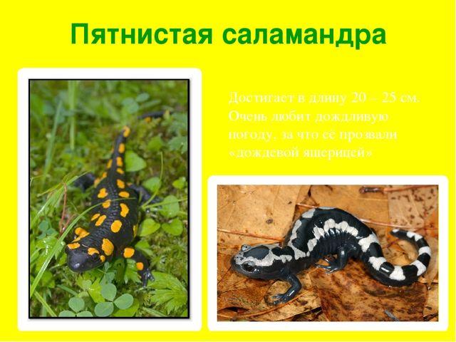 Пятнистая саламандра Достигает в длину 20 – 25 см. Очень любит дождливую пого...