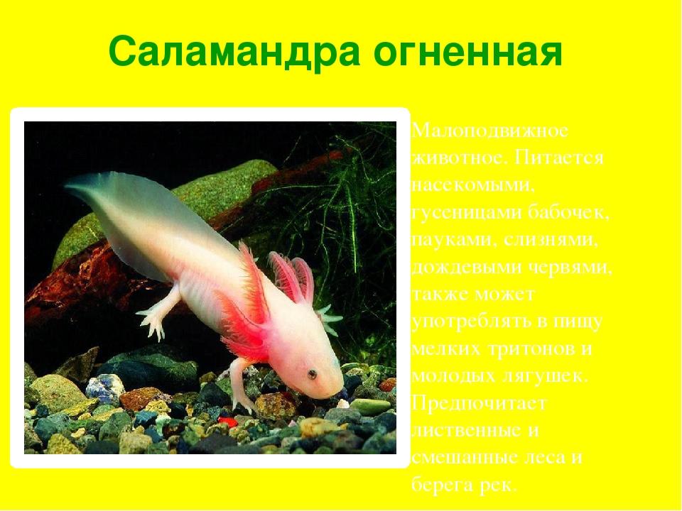 Саламандра огненная Малоподвижное животное. Питается насекомыми, гусеницами б...