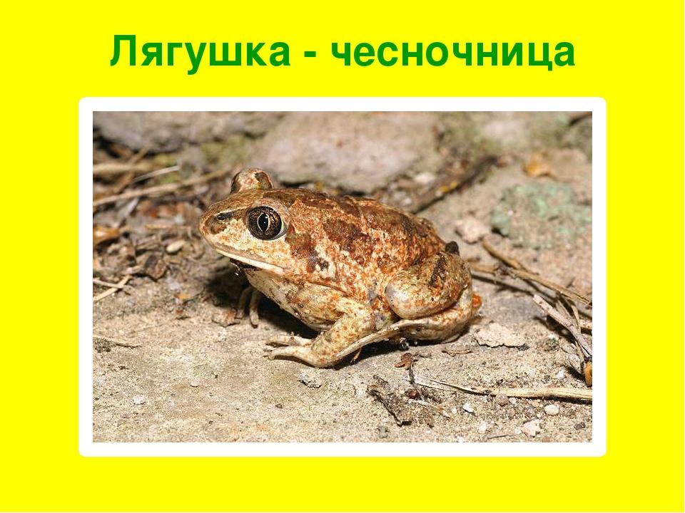 Лягушка - чесночница