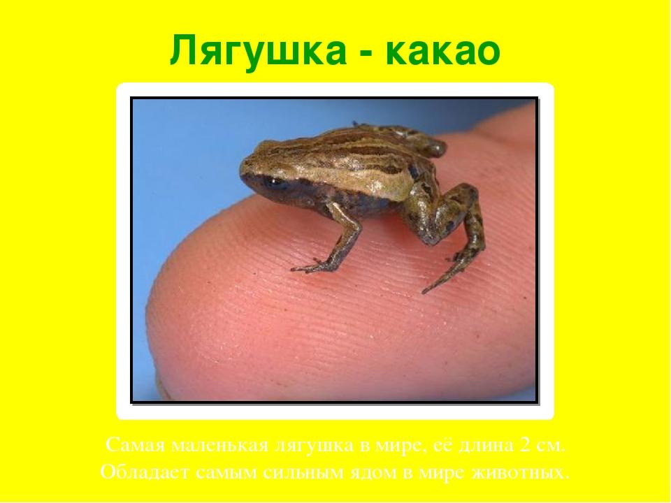 Лягушка - какао Самая маленькая лягушка в мире, её длина 2 см. Обладает самым...