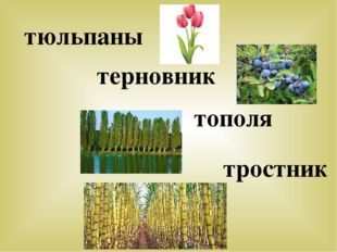 тюльпаны терновник тополя тростник