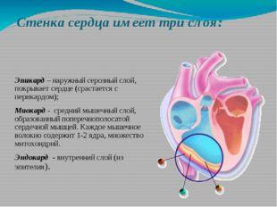 Стенка сердца имеет три слоя: Эпикард – наружный серозный слой, покрывает сер