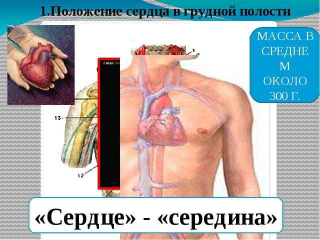 1.Положение сердца в грудной полости «Сердце» - «середина» МАССА В СРЕДНЕМ ОК...