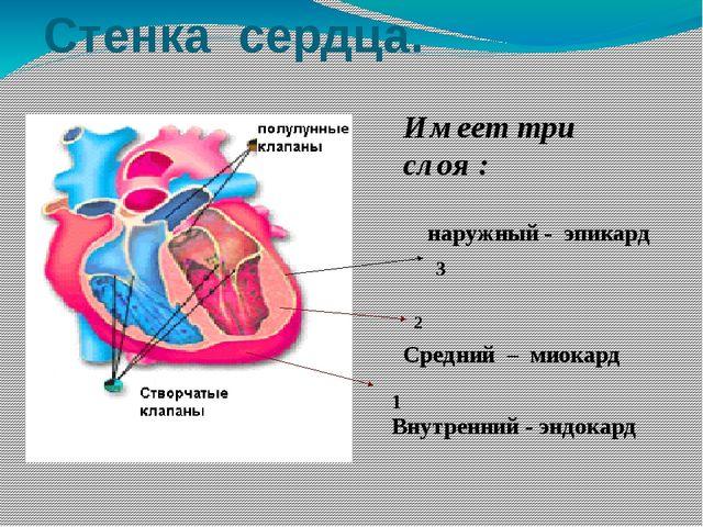 Стенка сердца. 1 2 3 Внутренний - эндокард   Средний – миокард  наружный...