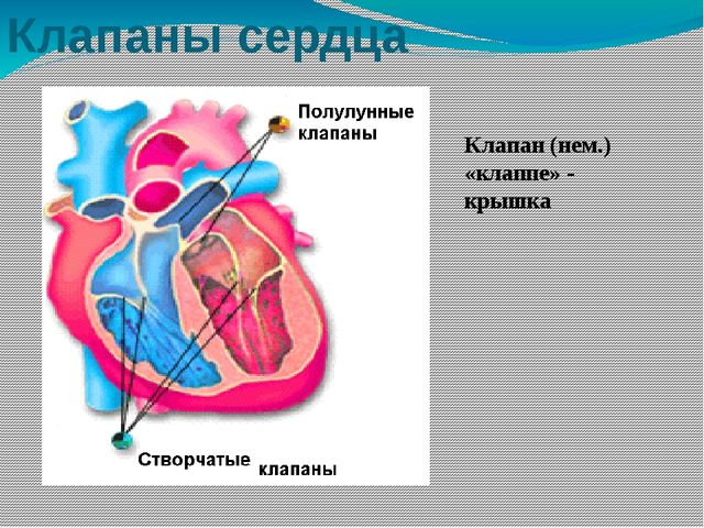 Клапаны сердца Клапан (нем.) «клаппе» - крышка