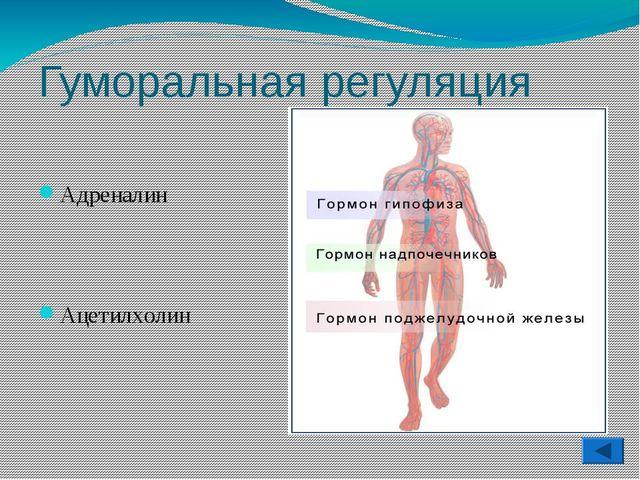 Гуморальная регуляция Адреналин Ацетилхолин