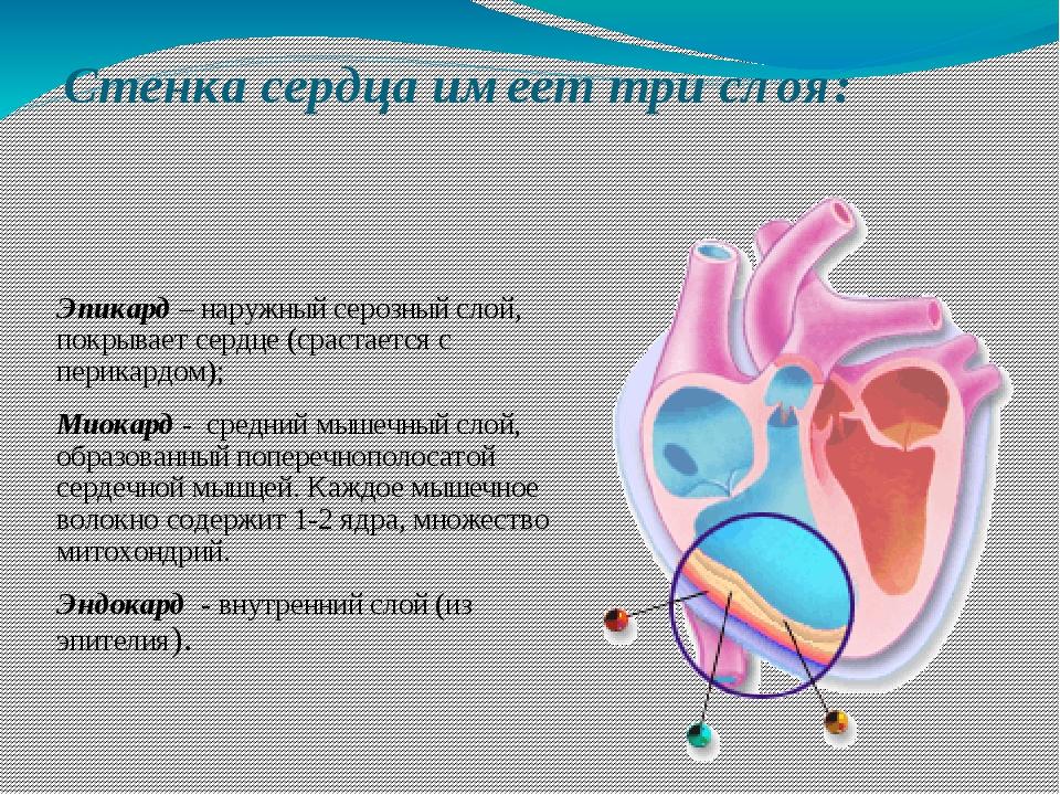 Стенка сердца имеет три слоя: Эпикард – наружный серозный слой, покрывает сер...