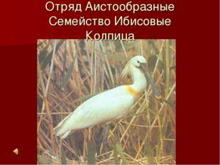 Отряд Аистообразные Семейство Ибисовые Колпица