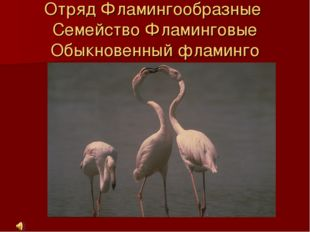 Отряд Фламингообразные Семейство Фламинговые Обыкновенный фламинго