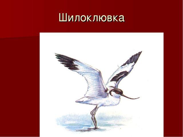Шилоклювка