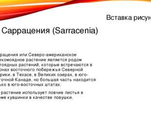 1. Саррацения (Sarracenia) Саррацения или Северо-американское насекомоядное р