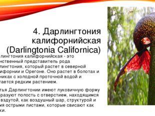 4. Дарлингтония калифорнийская (Darlingtonia Californica) Дарлингтония калифо
