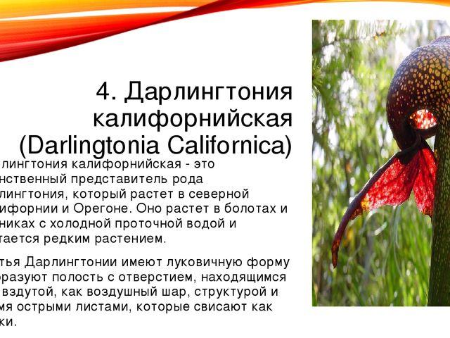 4. Дарлингтония калифорнийская (Darlingtonia Californica) Дарлингтония калифо...