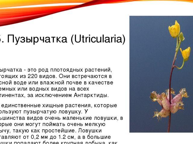 5. Пузырчатка (Utricularia) Пузырчатка - это род плотоядных растений, состоящ...