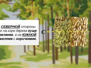 С СЕВЕРНОЙ стороны мох на коре дерева гуще и зеленее, а на ЮЖНОЙ – желтее и