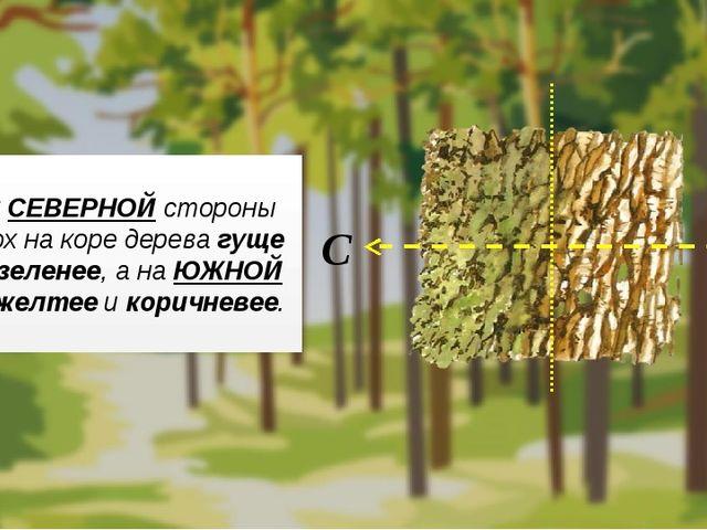 С СЕВЕРНОЙ стороны мох на коре дерева гуще и зеленее, а на ЮЖНОЙ – желтее и...